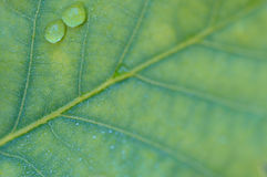 Green oak leaf Stock Photography
