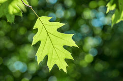 Green oak leaf. In the forest in sunny weather Royalty Free Stock Image