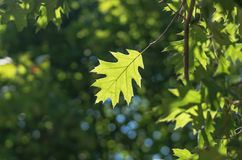 Green oak leaf. In the forest in sunny weather Stock Photo