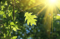 Green oak leaf. In the forest in sunny weather Stock Images