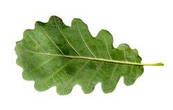 Green oak leaf isolated on white background Stock Photo