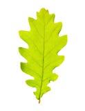 Green oak leaf Royalty Free Stock Images