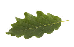 Green oak leaf isolated on white Stock Photography