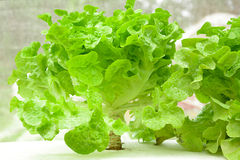 Green oak leaf lettuce in the farm Royalty Free Stock Photo