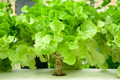 Green oak leaf lettuce in the farm Royalty Free Stock Photos