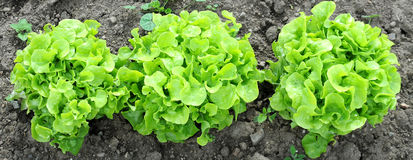 Green Oak Leaf Lettuce in the Ground Royalty Free Stock Photo