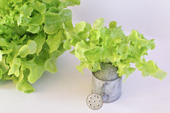 Green oak leaf lettuce with tin watering can  on white background Royalty Free Stock Image