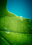Green oak leaf with water drops on it. (shallow depth of field Stock Images