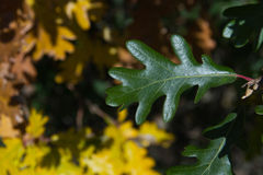 Green Oak Leaf With Yellow Leaves Fund Stock Photo
