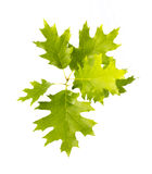 Green oak Royalty Free Stock Photography
