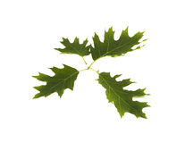 Green oak Royalty Free Stock Images