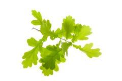 Green oak leaves Stock Photos