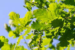 Green oak leaves. Against blue sky Royalty Free Stock Photography