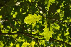 Green oak leaves royalty free stock photos