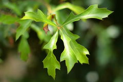 Green Oak Leaves royalty free stock photo