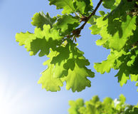 Green oak leaves Stock Images
