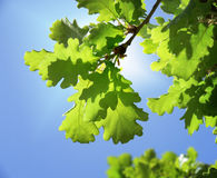 Green oak leaves Stock Photography