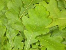 Green oak leaves Stock Photos