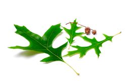 Green oak leaves and acorns Royalty Free Stock Image