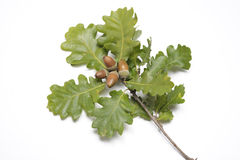 Green oak leaves with acorns Stock Images