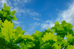 Green oak leaves against the blue sky Royalty Free Stock Photography