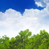 Green oak leaves, blue sky. White clouds Stock Image