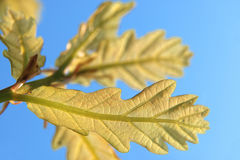 Green oak leaves. In the bluo sky Royalty Free Stock Photos