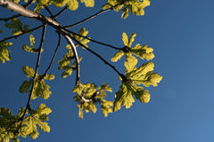 Green oak leaves. In the bluo sky Stock Photography