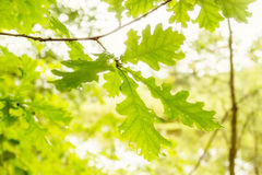 Green oak leaves Stock Image