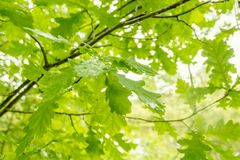 Green oak leaves Royalty Free Stock Image