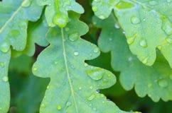 Green oak leaves Stock Photography