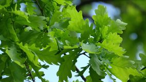 Green oak leaves stock video