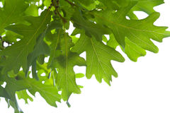 Green oak leaves isolated Royalty Free Stock Photography