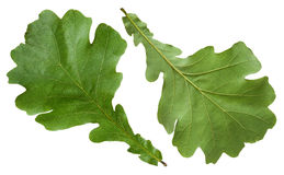 Green oak leaves Royalty Free Stock Photography