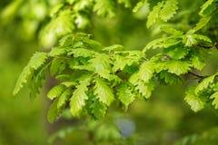 Green oak leaves (Quercus petraea) Stock Photo