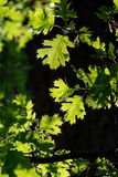Green Oak Leaves in Springtime Royalty Free Stock Photo