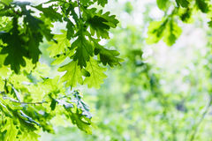 Green oak leaves in summer rainy day Royalty Free Stock Images