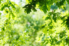 Green oak leaves in summer sunny day Royalty Free Stock Photos