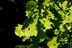 Green oak leaves in the sun. Leaves of young oak in the summer sun. A walk through the park in the village of Abramtsevo Stock Photo