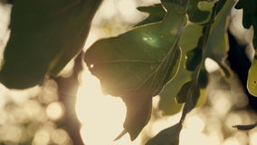 Green oak leaves at sunset. In autumn forest stock video