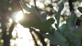 Green oak leaves at sunset. In autumn forest stock video footage