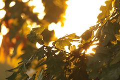 Green oak leaves at sunset royalty free stock photography