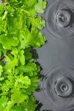 Green oak leaves in water  in the rain Royalty Free Stock Photo