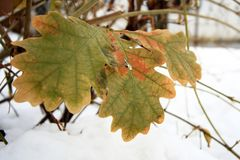 green oak leaves on a white snow background stock photo