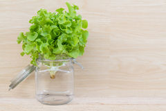Free Green Oak Lettuce Stock Photos - 60677133