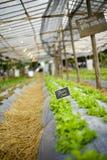 Green oak lettuce field Stock Image