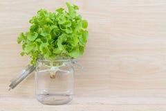 Green Oak Lettuce Stock Photos