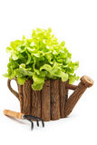 Green Oak Lettuce. For healthy eating Stock Photography