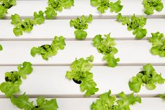 Green oak lettuce in hydroponics farm in Phangnga province, Sout. Salad vegetable, green oak lettuce in hydroponics farm in Phangnga province, South of Thailand Royalty Free Stock Images