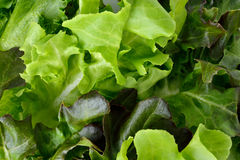 Green oak, red oak and Frillies Iceberg Lettuce leaves background Royalty Free Stock Photo